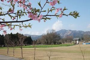 一心行公園の早咲き桜