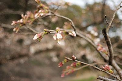 瀬田神宮の桜の蕾