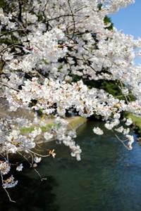 瀬田神宮の桜満開