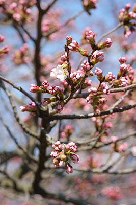 観音桜の開花