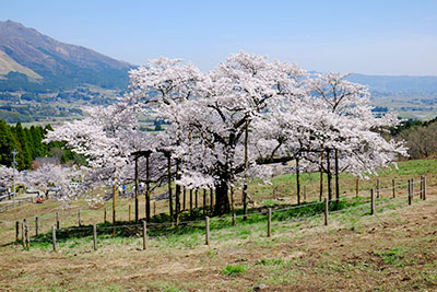 満開の観音桜