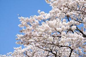 満開の観音桜【枝周り】