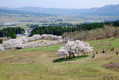 牧野の観音桜【高台ビュー】