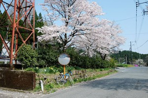 長陽栃木地区の桜