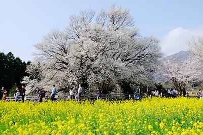 一心行の大桜【八分咲き】