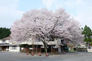栃木温泉 旅館朝陽の桜
